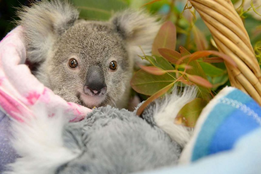 Shayne, a nine-month-old orphaned baby koala who has found solace cuddling a fluffy toy koala in the absence of his real mother, who was hit and killed by a car.