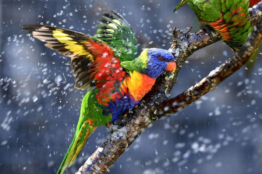 Australian rainbow lorikeets cool off in a sprinkler on Aug 25, 2016, at the zoo in France, as temperatures soar across the country.