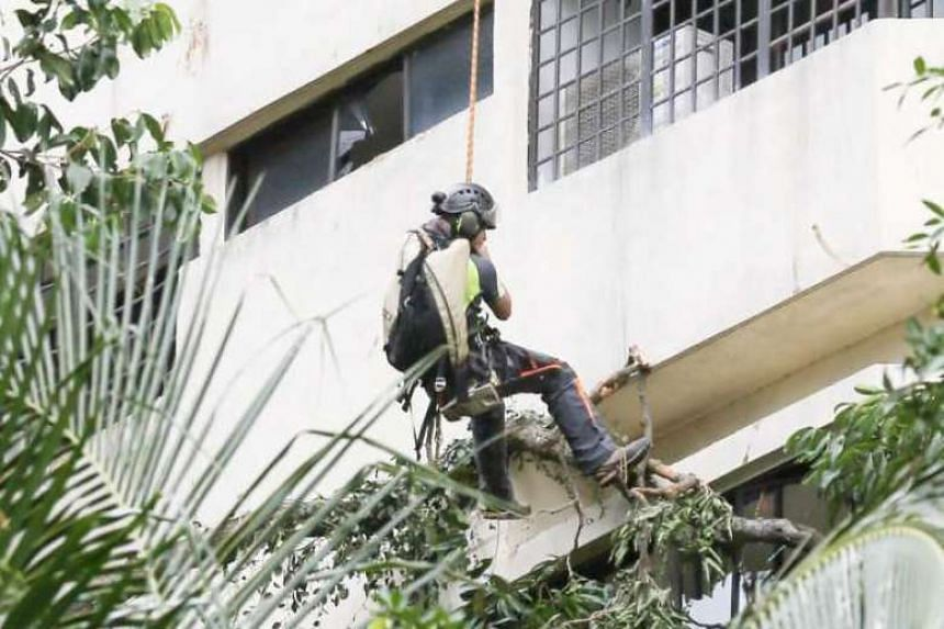 Workers clearing the tree, which is about 30m tall, from Pearl Bank Apartments.