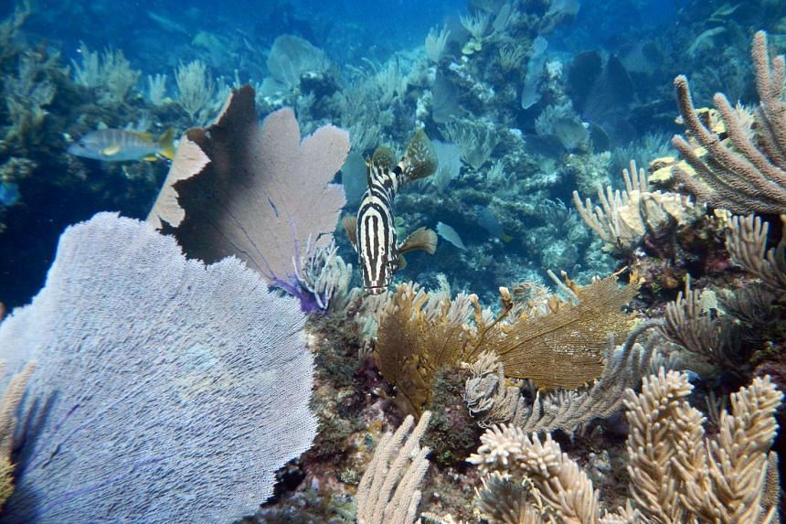 Coral fish become stressed and lose weight if they are separated from each other, hampering their chances of survival.