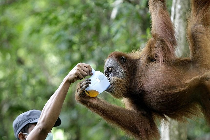 Staff from the Sumatran Orangutan Conservation Programme giving an orang utan medicine in the Jantho Reintroduction and Quarantine Station in Aceh Besar, Indonesia, yesterday. The station is a training centre for confiscated orang utans that were bei
