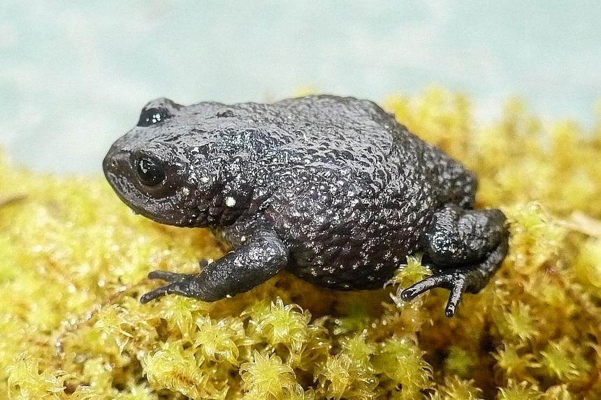 """A """"Rana de Chaparro"""" (Phrynopus chaparroi) frog."""