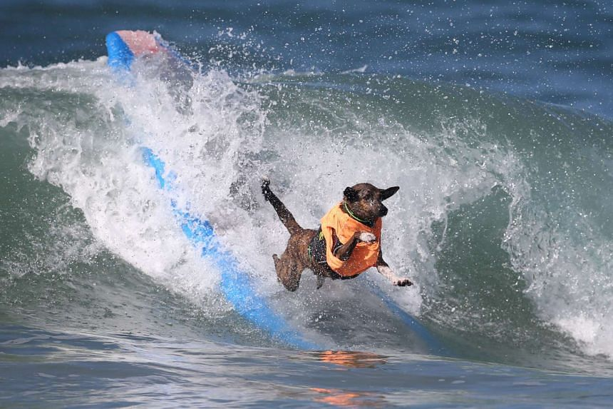 A dog wipes out during the Surf City Surf Dog competition in Huntington Beach, California on Sept 25, 2016.