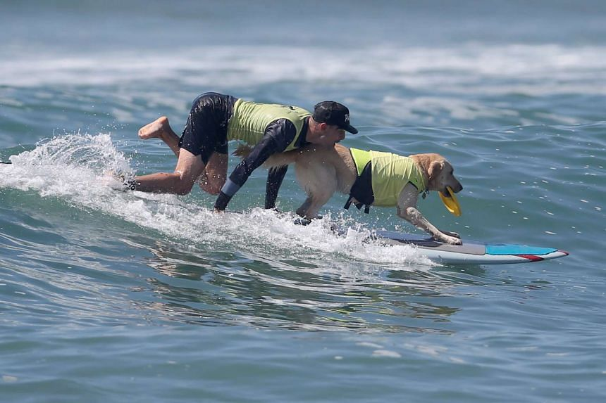 A man surfs with his dog during the Surf City Surf Dog competition in Huntington Beach, California on Sept 25, 2016.