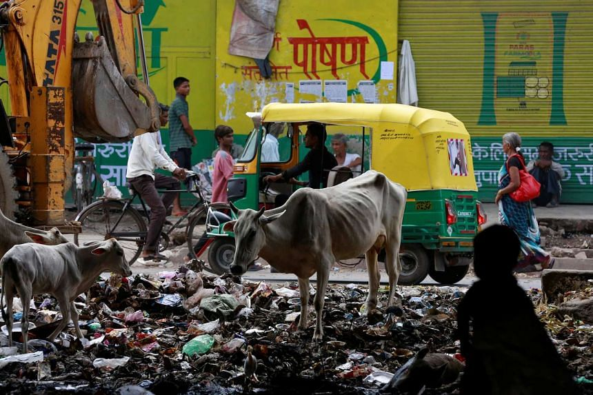 Cows forage amongst rubbish on a roadside in Agra, India.