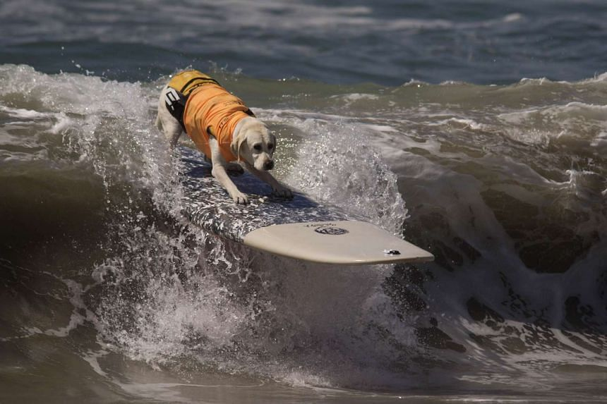 A surfing dog rides a wave during the Surf Dog Competition in Huntington Beach, California on Sept 25, 2016.