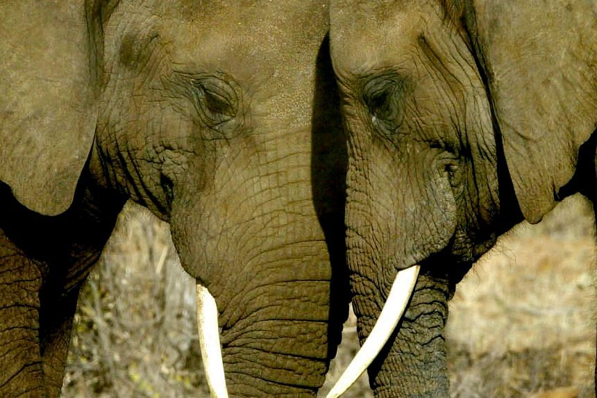 A pair of African Elephants nuzzle up to each other at the Mokolodi Nature Reserve in Botswana.