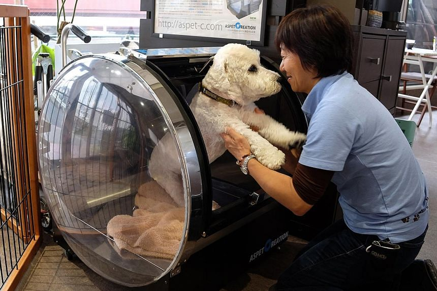 Ms Hiroko Miura, head of a nursing and training facility for pets in Tokyo, helping a 12-year-old dog after it had received treatment for symptoms of epilepsy in an oxygen capsule on March 23 last year.