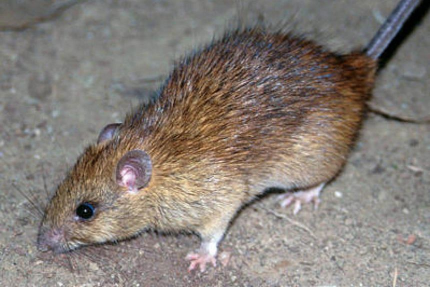 Black rat (Rattus rattus) is a common rodent found in Singapore.