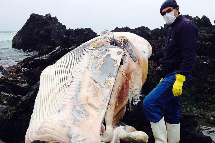 A researcher with a whale that was found dead on the shore near the city of Coquimbo in northern Chile. Experts say that whales in the Pacific off Chile's coast are acting unusually.