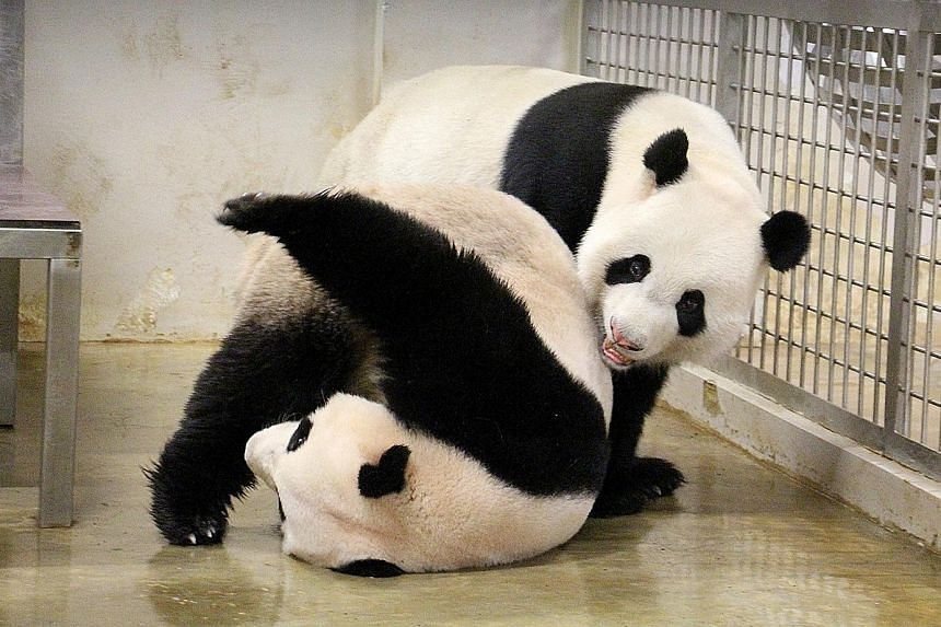 River Safari's male panda Kai Kai (on top) playing with the female, Jia Jia. Vets have been trying to help Jia Jia get pregnant in the last two years, but have been unsuccessful so far. However, the furry duo are still teenagers in panda years. Unsuc