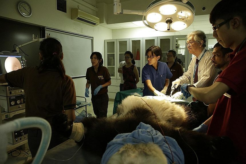 Prof Ng Soon Chye, obstetrics and gynaecology specialist (male), and Dr Serena Oh, assistant director, veterinary services, WRS, collecting a semen sample from Kai Kai earlier this year.