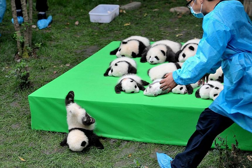 A giant panda cub taking a tumble while 23 others born this year wait patiently on stage during their public debut at the Chengdu Research Base of Giant Panda Breeding in China's Sichuan province last week.
