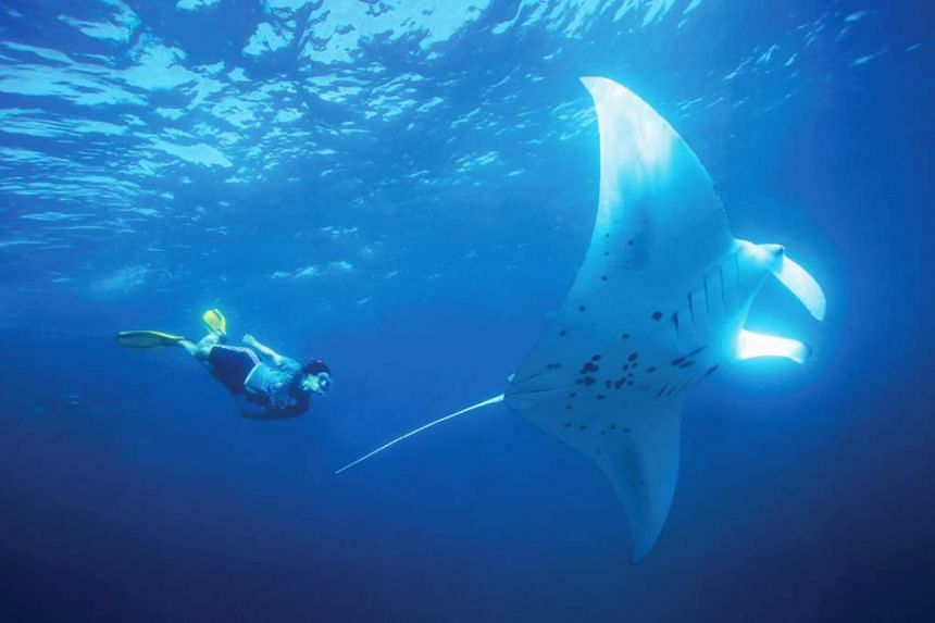 Free-dive or snorkel with manta rays in Hanifaru Bay in the Maldives.
