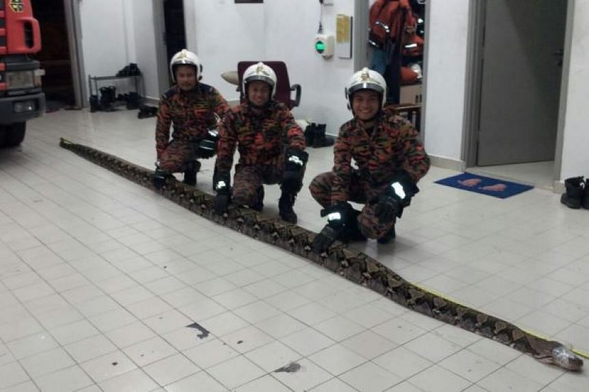 The python was found at the back of the house in Johor Baru.