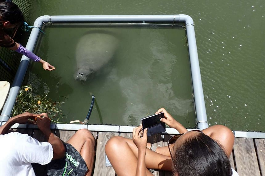 Kai the manatee getting a piece of carrot in his new home at the National Park of Guadeloupe on Aug 30, 2016.