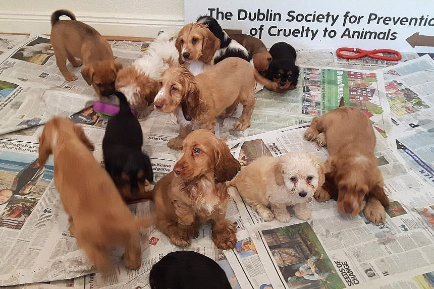 Some of the 59 puppies that were rescued at the port of Dublin during a recent operation involving the Dublin Society for the Prevention of Cruelty to Animals and various government bodies.