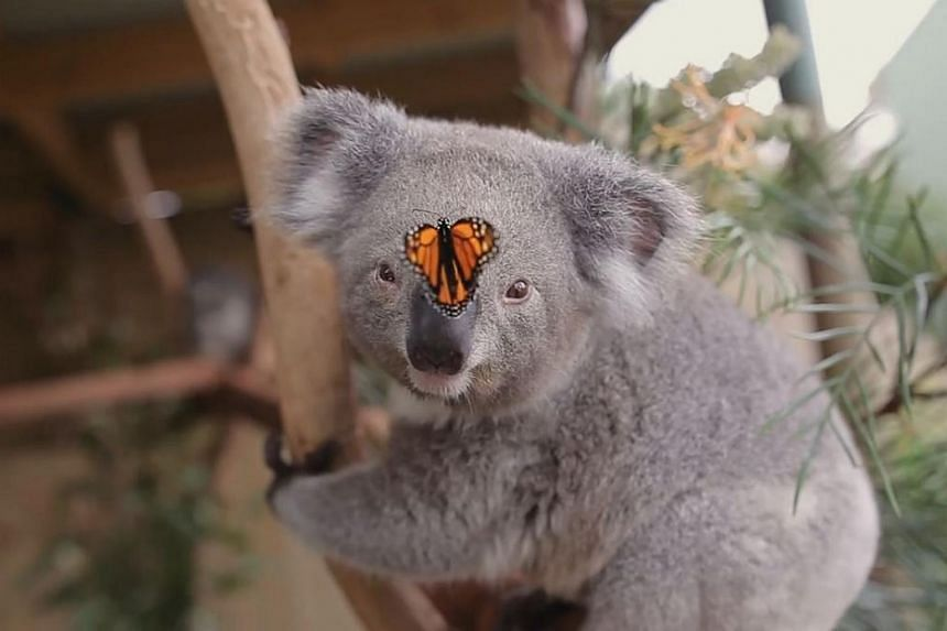 Willow the koala with her newfound friend.