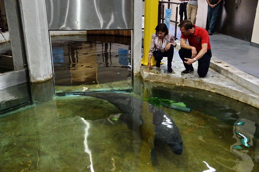 Deputy Head of Mission from French embassy in Singapore Laurence Beau (left) and group CEO of Mandai Park Holdings Mike Barclay (right) feed a West Indian manatee with vegetables during a farewell ceremony at the River Safari theme park in Singapore