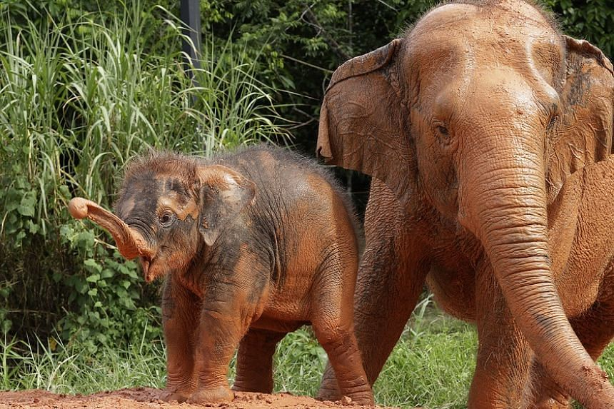 """Neha, Night Safari's five-month-old Asian elephant, plays with her favourite """"auntie"""" Tun."""