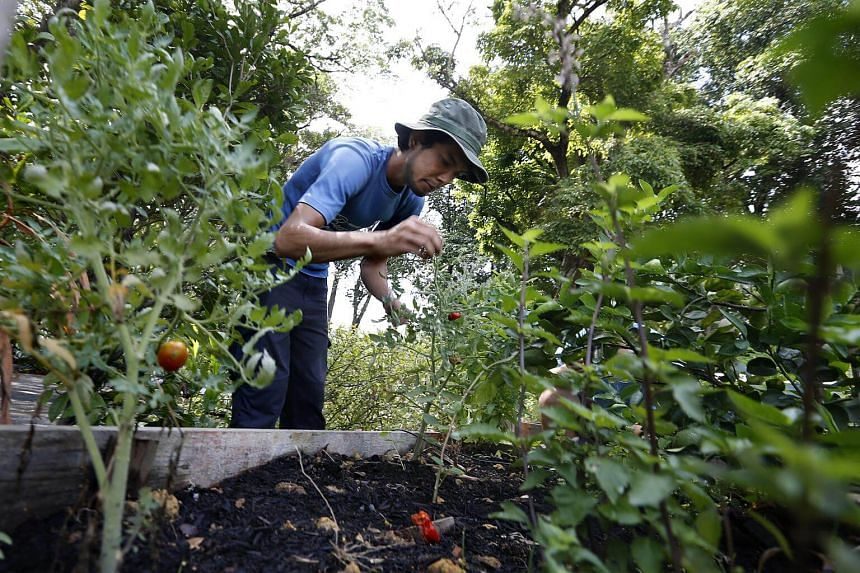 A farmer from social enterprise Edible Garden City (EGC) working at Open Farm Community (OFC) set in a 35,000 square foot garden in Dempsey.