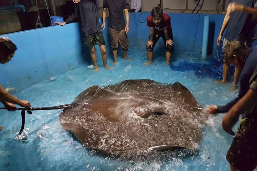 Giant freshwater stingrays are facing extinction in the Mae Klong River, a leading marine biologist warned yesterday as mass deaths attributed to water pollution killed a large segment of the population.