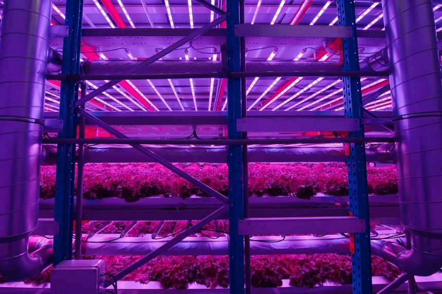 Heads of lettuce being grown with violet LED lighting in a completely automated internal agricultural system, in Waregem, Belgium.