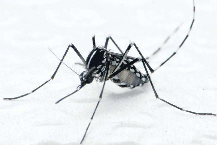 Aedes albopictus mosquito that spreads dengue fever.