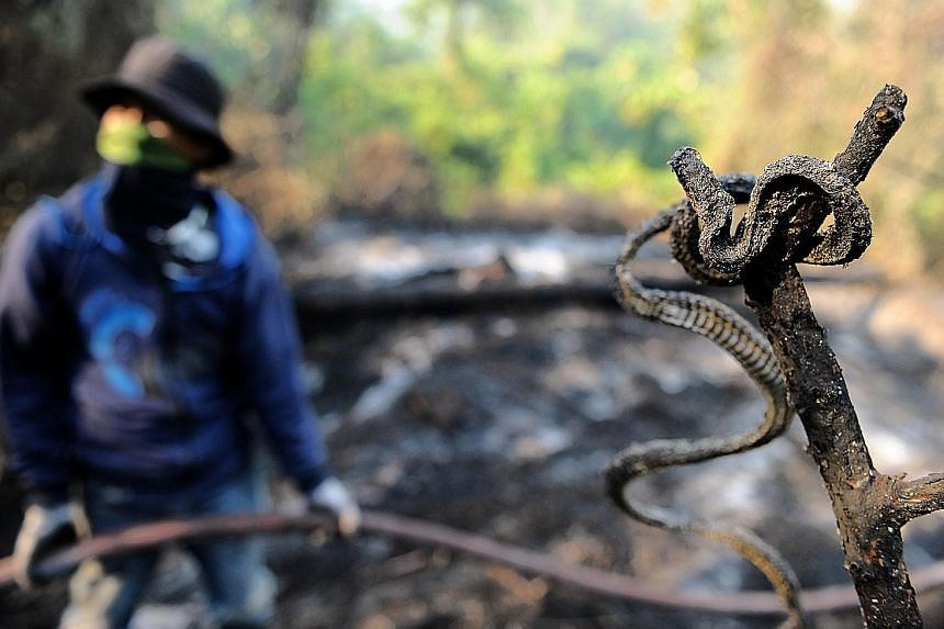The charred carcass of a snake next to a ranger working to extinguish a fire in Seulawah, Aceh on Monday, after tens of hectares of pine forests were deliberately burned. Haze is an annual problem in Indonesia, caused by the setting of forests on fir