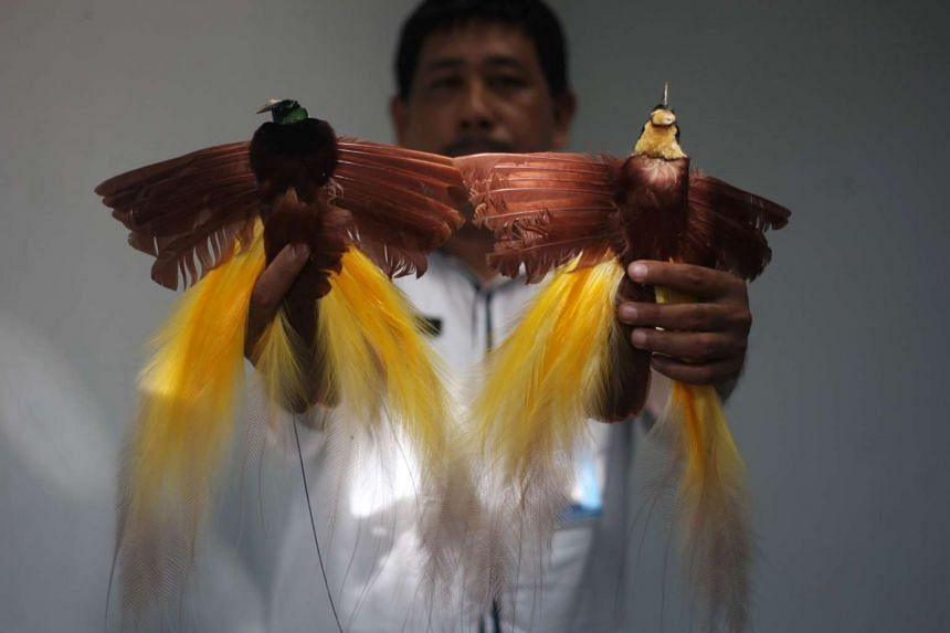 An Indonesian official holds two stuffed Cendrawasih (paradise) birds seized by local government in Makassar on Oct 12, 2016.