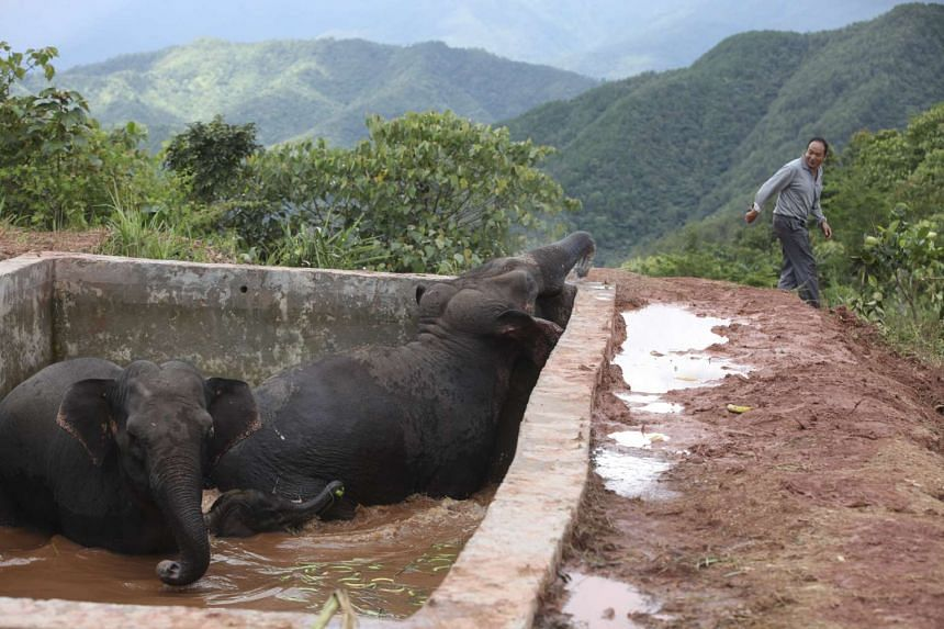 Two elephants and a baby elephant trapped in the reservoir after having fallen inside when drinking water at a farm in Yunnan province on Oct 12, 2016.
