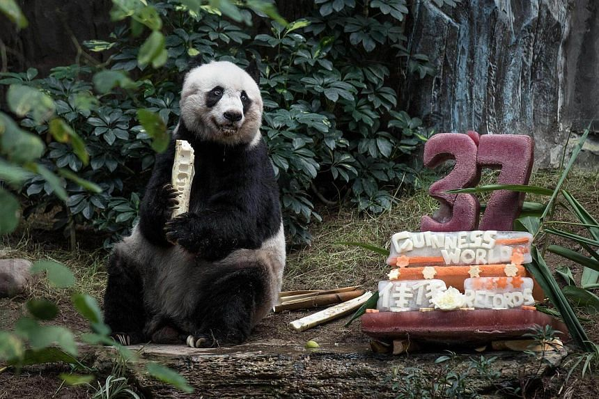 Jia Jia eats a bamboo as she sits next to a cake made with ice and fruit juice to mark her 37th birthday on July 28, 2015.