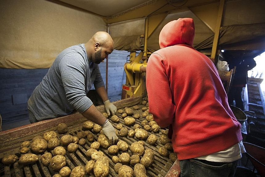 Employees at the Foster farm in Sagaponack sorting potatoes.