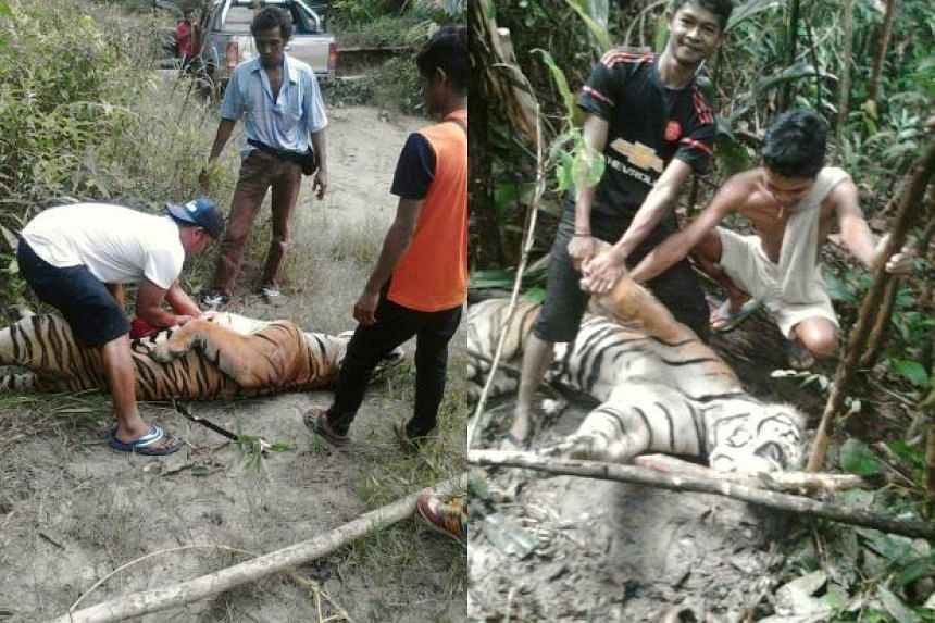 The Wildlife and National Parks Department (Perhilitan) is investigating images of several individuals posing next to a dead tiger that have gone viral on social media.
