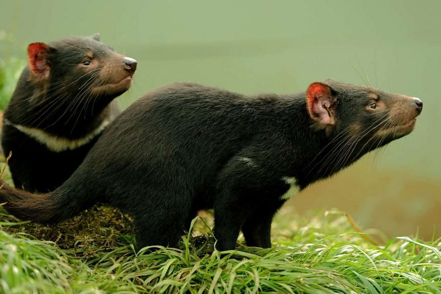 Tasmanian devils exploring their enclosure in New South Wales, Australia.