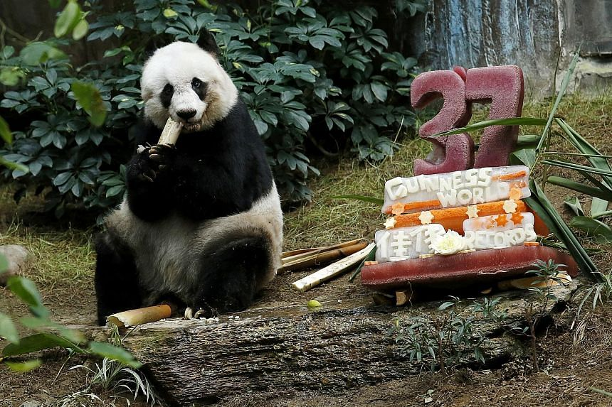 """Giant panda Jia Jia """"celebrating"""" its 37th birthday last year with a cake made from ice and fruit juice at Ocean Park in Hong Kong. The panda was euthanised on Sunday after its health deteriorated rapidly over the past two weeks."""