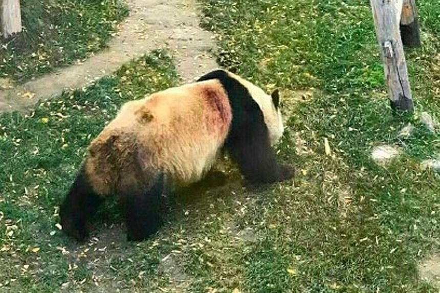 In one of several pictures which have gone viral, 22-year-old Shulan is seen in its enclosure with what appears to be a wound on its back. The zoo said the panda was cut by the shape edges of bamboo during feeding.