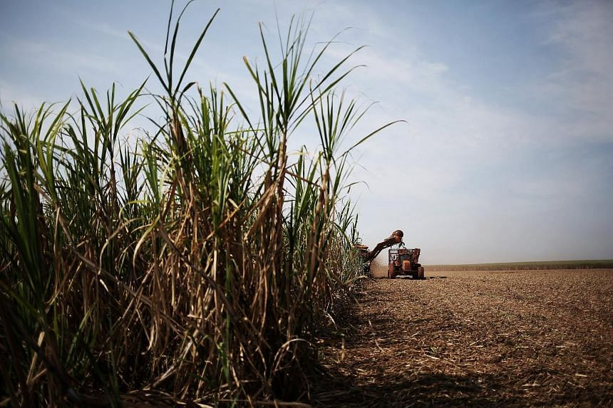A sugar cane plantation in Brazil. Olam's sugar business has hired Mr Toby Chamberlain as vice- president of white sugar trading.