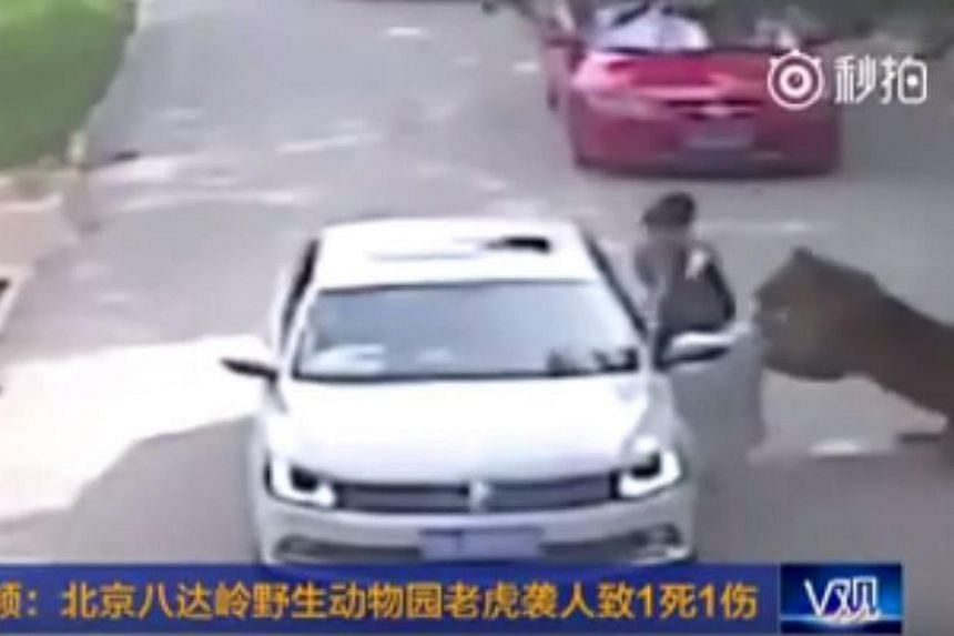 The tiger attacking Ms Zhao, who claimed she had left the safety of her vehicle as she was feeling car sick.
