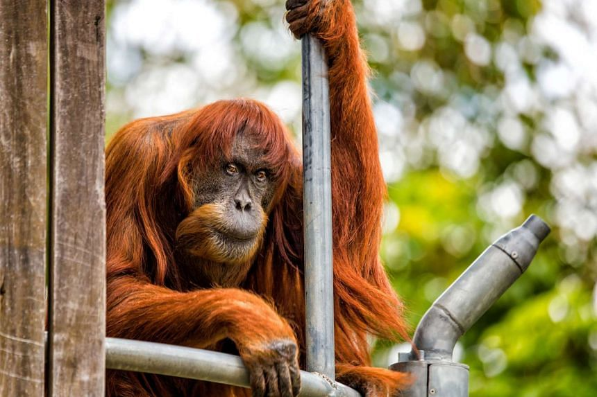 Puan, a 60-year-old Sumatran Orangutan named the oldest living in the world, is seen at the Perth Zoo.