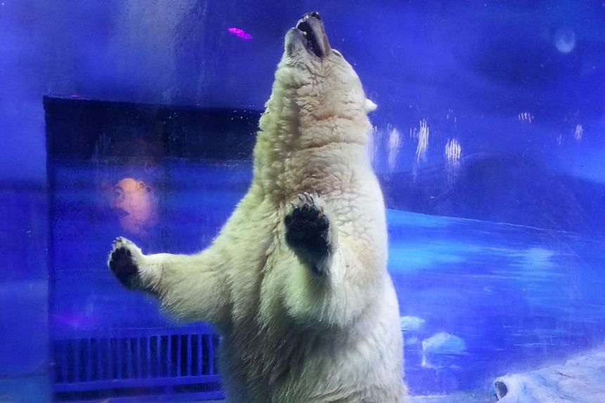 Pizza, a polar bear that lives in an enclosure at the Grandview Mall Aquarium in the southern Chinese city of Guangzhou.