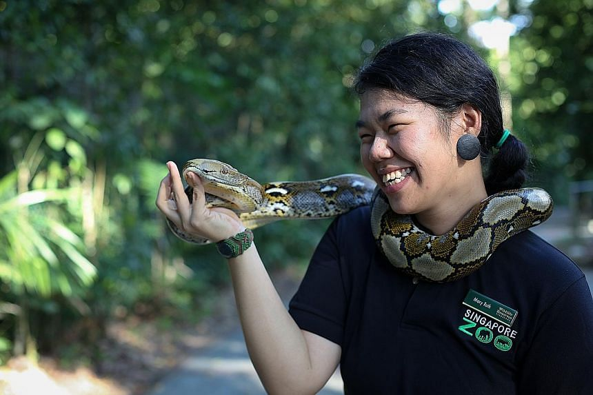Ms Low, seen here with a reticulated python, said this species does not see humans as food or prey. It is usually only when it feels threatened, like when it is being pelted with rocks, or slashed with a stick, that it may bite in defence, she said.