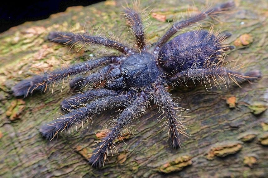 Left: NUS researcher Li Daiqin, who is studying the effect of UV light on a species of jumping spider. Below: The tarantula called Singapore blue.