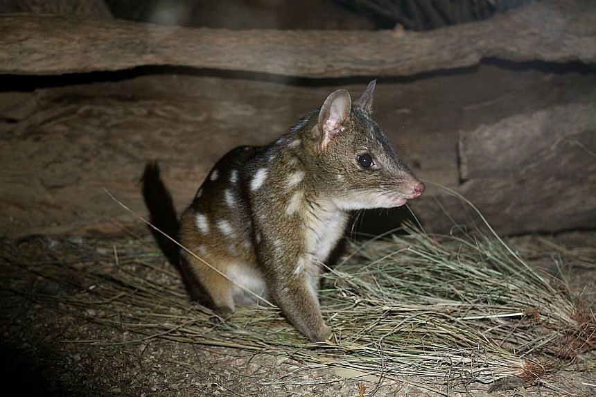 Most of the species to be reintroduced to Dirk Hartog Island are small, and include (clockwise from left) the rufous hare-wallaby, the greater stick nest rat and the western quoll. Western Australia is restoring Dirk Hartog Island, a narrow 80km-long