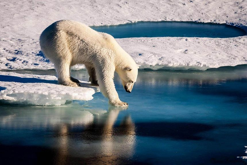 A polar bear testing the strength of thin sea ice in the Arctic.