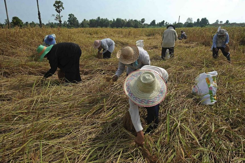 Thai farmers harvesting rice at a field in the Takbai district of Thailand's restive southern province of Narathiwat on March 17, 2016.