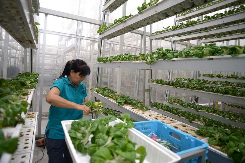 Sky Greens Farm in Lim Chu Kang houses 1,000 vertical farming towers and produces 800kg of greens.