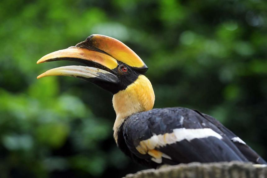 Sunny, a Great Hornbill, is Jurong Bird Park's new animal icon.