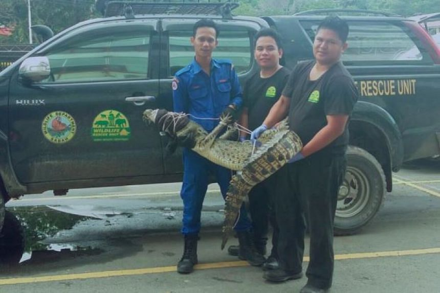 The 55kg reptile is believed to have come from a nearby monsoon drain.