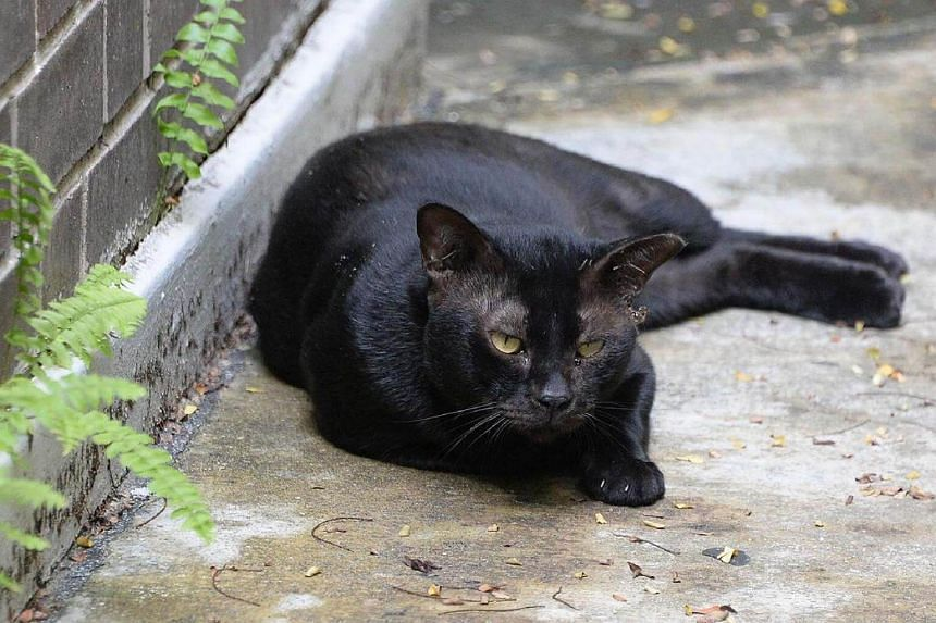 A stray cat in Bishan. The Agri-Food and Veterinary Authority (AVA) has reorganised its investigation and enforcement team to respond to animal abuse cases more quickly.